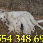 akbaş çoban köpeği özellikleri