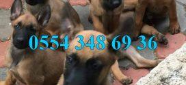 Anti Terör Köpeği Belçika Malinois Yavruları