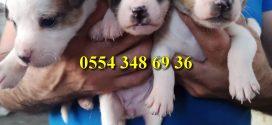 Jack Russell   Terrier Yavrularımız