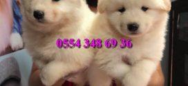 Kar Beyaz Samoyed Yavrularımız