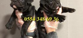 Eşsiz Renk Black Fransız Bulldog