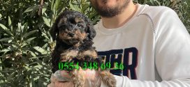 Black tan  Orjinal Toy Poodle