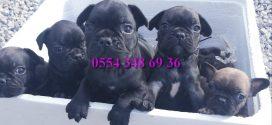 Black ve Fawn Fransız Bulldog Yavruları