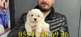 Korea Kan Maltese Terrier Yavruları