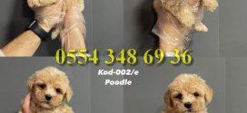 Poodle ilanları