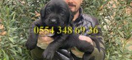 Black Labrador Yavrularımız