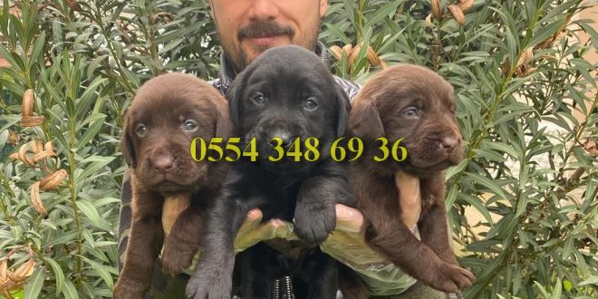 Chocolate Labrador Yavrularımız