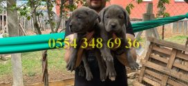 Satılık Blue Cane Corso Yavruları