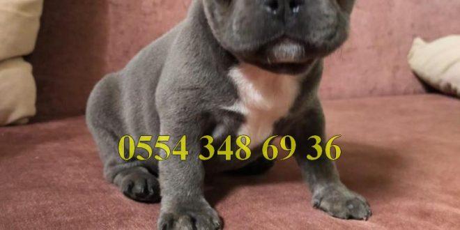 Satılık Blue Fransız Bulldog