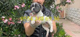 Satılık Blue Pied Fransız Bulldog