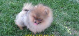 Satılık Pomeranian