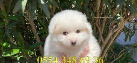 Satılık Pomeranian Spitz