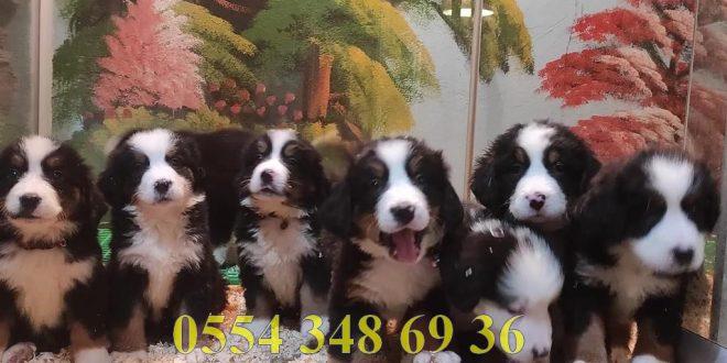 Satılık Bernese Mountain Dog