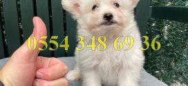 Satılık White Terrier