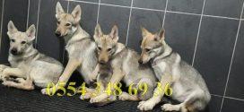 Full Secereli Çekoslavak Wolf Dog Yavruları